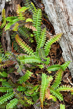 Alpine water fern (Blechnum penna-marina), Patagonia, Chile, South America