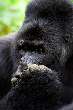Mountain gorilla (Gorilla beringei beringei) silverback male looking at hand, member of Munyaga group, Virunga National Park, North Kivu, Democratic Republic of Congo, Africa, Critically endangered.