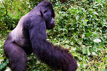 Mountain gorilla (Gorilla beringei beringei) silverback male 'Humba' with ants all over his arm, leaving Driver ant (Dorylus sp) nest he was feeding on, a socially acquired and transmitted taste, Viru...