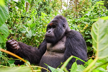 Mountain gorilla (Gorilla beringei beringei) silverback male 'Humba' with a fist full of Driver ants (Dorylus sp) before feeding on them, a socially acquired and transmitted taste, Virunga National Pa...