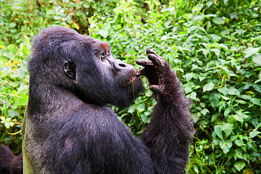 Mountain gorilla  (Gorilla beringei beringei) silverback male 'Humba' feeding on Driver ants (Dorylus sp), a socially acquired and transmitted taste, Virunga National Park, North Kivu, Democratic Repu...
