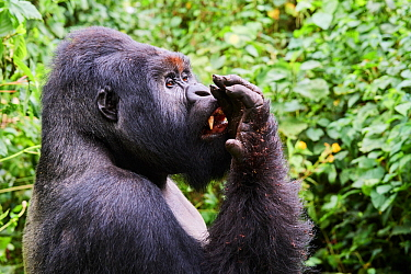 Mountain gorilla (Gorilla beringei beringei) silverback male known as Humba licking his fingers after eating Driver ants (Dorylus sp.) a socially acquired and transmitted taste, member of the Humba gr...