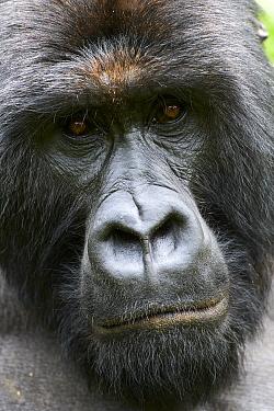Mountain gorilla (Gorilla beringei beringei) silverback male, head portrait, member of the Kabirizi group, Virunga National Park, North Kivu, Democratic Republic of Congo, Africa, Critically endangere...
