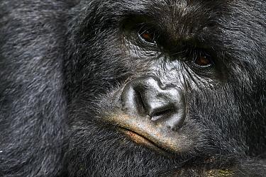 Mountain gorilla (Gorilla beringei beringei) silverback male, portrait, member of the Rugendo group, Virunga National Park, North Kivu, Democratic Republic of Congo, Africa, Critically endangered.