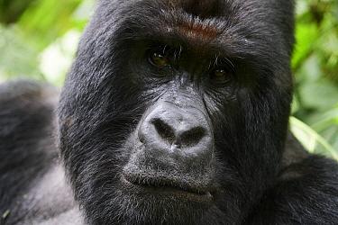 Mountain gorilla (Gorilla beringei beringei) silverback male, portrait, member of the Humba group, Virunga National Park, North Kivu, Democratic Republic of Congo, Africa, Critically endangered.