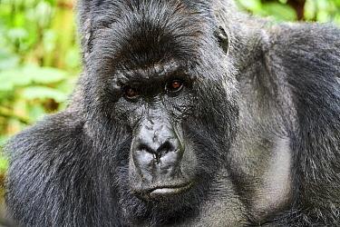 Mountain gorilla (Gorilla beringei beringei) silverback male, portrait, member of the Munyaga group, Virunga National Park, North Kivu, Democratic Republic of Congo, Africa, Critically endangered.
