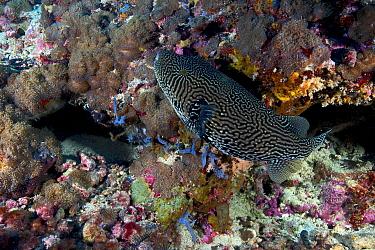 Map pufferfish (Arothron mappa), Bismarck Sea, Vitu Islands, West New Britain, Papua New Guinea