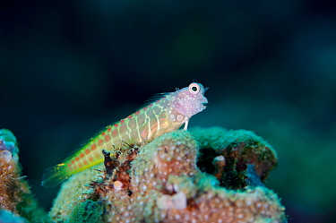 Segmented Blenny (Salarias segmentatus), Kimbe Bay, West New Britain, Papua New Guinea