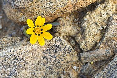 Yellow Gazania (Gazania lichtensteinii), Kamieskroon, Western Cape, South Africa.