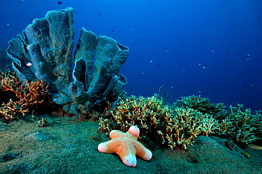 Underwater landscape with Granular Sea Star (Choriaster granulatus), stag horn coral and sponge. Kimbe Bay, West New Britain, Papua New Guinea