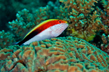 Freckled hawkfish (Paracirrhites forsteri) Kimbe Bay, West New Britain, Papua New Guinea