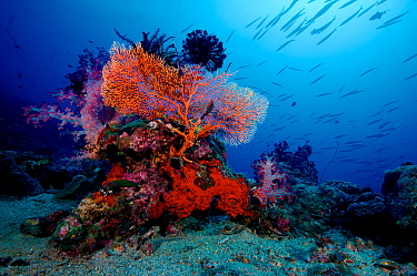 Sea fan, soft corals and feather stars with Blackfin barracuda (Sphyraena qenie) swimming above. Kimbe Bay, West New Britain, Papua New Guinea