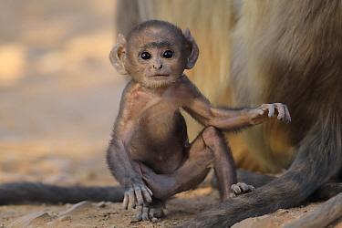 Hanuman langur (Semnopithecus dussumieri) baby playing, Ranthambhore, India.