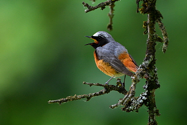 Common redstart  (Phoenicurus phoenicurus) male, singing in a tree, Vosges, France, June.