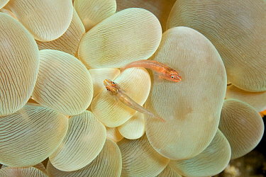 Rounded bubblegum / Bubble coral (Plerogyra sinuosa) with two Gobies (Gobiidae) on it, Lazi Pier, Dumaguete, East Negros Island, Central Visayas, Philippines, Pacific Ocean.