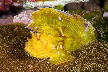Paper / Leaf scorpion fish (Taenianotus triacanthus) portrait, Lazi Pier, Dumaguete, East Negros Island, Central Visayas, Philippines, Pacific Ocean.