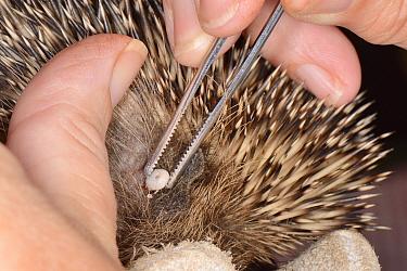 Hedgehog tick (Ixodes hexagonus) removal from a Hedgehog (Erinaceus europaeus) with tweezers, Chippenham, Wiltshire, UK, August 2017. Model released.
