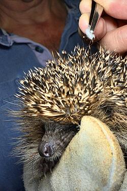 Hedgehog tick (Ixodes hexagonus) removed from a Hedgehog (Erinaceus europaeus) with tweezers, Chippenham, Wiltshire, UK, August 2017. Model released.