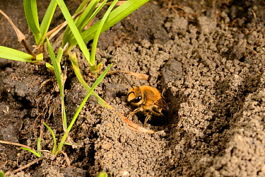 Ivy bee (Colletes hederae) female emerging from burrow during the autumn emergence and mating season, Wiltshire garden, UK, September.