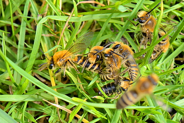 Ivy bee (Colletes hederae) males competing to mate with a female soon after her emergence from a burrow in a grassy bank, with another flying over the mating ball, Wiltshire, UK, September.