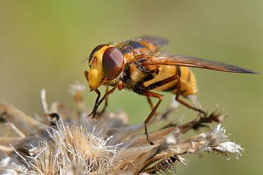 Lesser hornet hoverfly (Volucella inanis) portrait, sunning on vegetation, Wiltshire, UK, August.