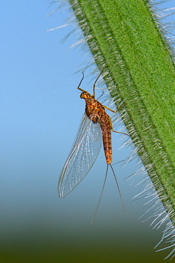 Pond olive mayfly (Cloeon dipterum) female on a nettle stem,  Wiltshire, UK, May.