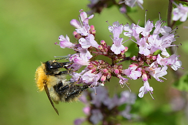 Common carder bumblebee (Bombus pascuorum) nectaring on Wild marjoram (Origanum vulgare) flowerhead, Wiltshire, UK, August.