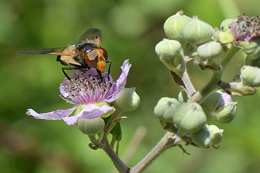 Great / Large pied hoverfly (Volucella pellucens) female feeding on a Bramble (Rubus fruticosus) flower, Wiltshire, UK, July.