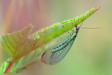 Green lacewing (Chrysopa perla) hiding under a leaf, Wiltshire, UK, June.