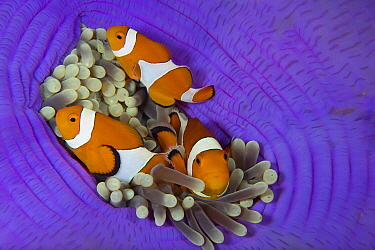 Three False clownfish (Amphiprion ocellaris) in Sea anemone (Heteractis magnifica) Lighthouse Reef, Cabilao Island, Bohol, Central Visayas, Philippines, Pacific Ocean.