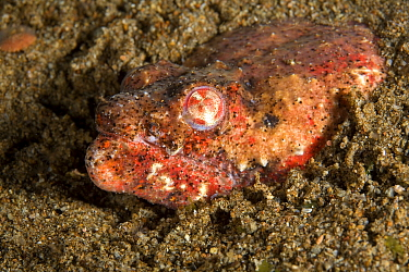 Crocodile snake eel (Brachysomophis crocodilinus) hiding in sand, Pura Vida House Reef, Dumaguete, East Negros Island, Central Visayas, Philippines, Pacific Ocean.