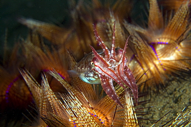 Broadclub cuttlefish (Sepia latimanus) hunting, Pura Vida House Reef, Dumaguete, East Negros Island, Central Visayas, Philippines, Pacific Ocean.