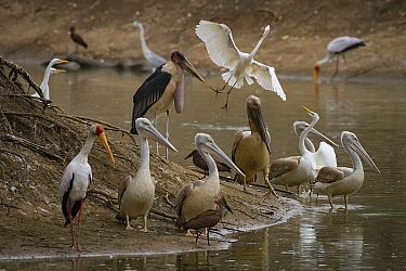 Birds, marabou storks (Leptoptilos crumenifer), great egrets (Ardea alba), yellow-billed storks (Mycteria ibis), and grey herons (Ardea cinerea), pink-backed pelicans (Pelecanus rufescens), and hamerk...