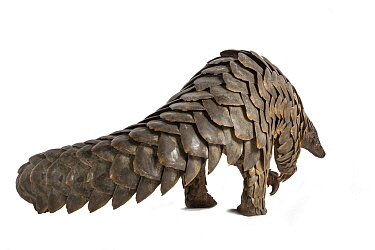 Cape pangolin (Smutsia temminckii) rear view; rescued from poachers, Gorongosa National Park, Mozambique. Photographed on white background before release.