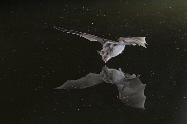 Horseshoe bat (Rhinolophus sp.) taking a drink at a pond in Gorongosa National Park, Mozambique.
