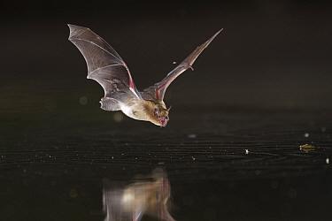 Banana bat (Neoromicia nana)  drinking at a pond in Gorongosa National Park, Mozambique.