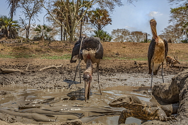 Marabou storks (Leptoptilos crumenifer) hunting Sharpooth catfish (Clarias gariepinus) in the dried up  Mussicadzi River.  In the background a bushbuck (Tragelaphus sylvaticus) drinks at another small...