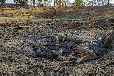 Nile monitor lizards (Varanus niloticus) converging on last remaining puddle of water in the Mussicadzi River to hunt Sharpooth catfish (Clarias gariepinus). Baboons (Papio sp.) and a busbuck (Tragela...