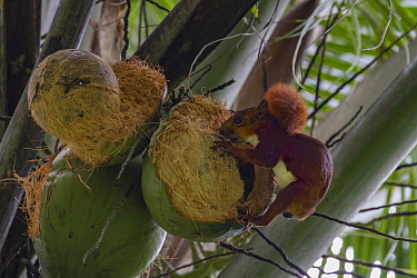 Red-tailed squirrel (Sciurus granatensis) feeding on coconuts in the Cartagena Botanic Gardens, Colombia.