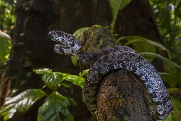 Clouded snail-eater (Sibon nebulatus) La Selva Biological Station, Costa Rica.