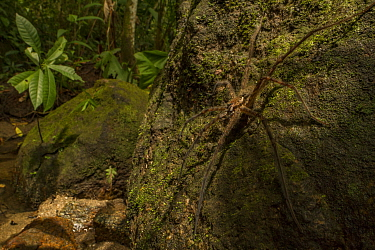 Fishing spider (Trechalea sp.) waiting above a stream,  Sierra Nevada de Santa Marta, Colombia.