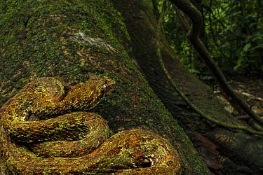 Eyelash viper (Bothriechis schlegelii) waiting for prey on tree, La Selva Biological Station, Costa Rica.