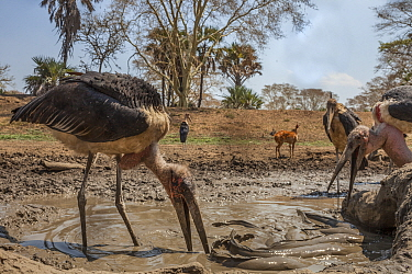 Marabou storks (Leptoptilos crumenifer) hunting  Sharpooth catfish (Clarias gariepinus) caught in poolsof  the Mussicadzi River during the dry season. In the background a Bushbuck (Tragelaphus sylvati...