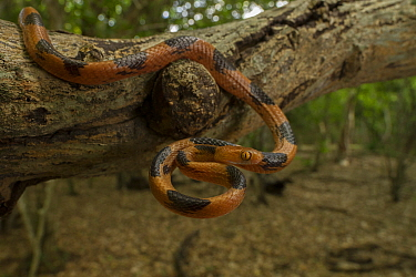 Eastern tiger snake (Telescopus semiannulatus) Gorongosa National Park, Mozambique.