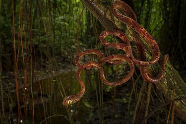Blunt-headed tree snake (Imantodes cenchoa) La Selva Biological Station, Costa Rica.