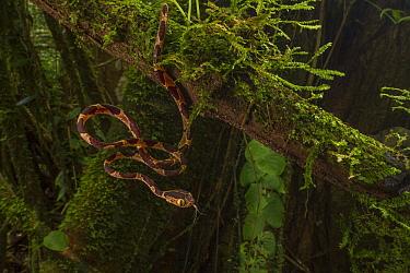 Blunt-headed tree snake (Imantodes cenchoa) juvenile tastes the air at La Selva Biological Station, Costa Rica.