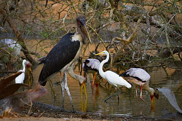 Great egret (Ardea alba), yellow-billed storks (Mycteria ibis), a marabou stork (Leptoptilos crumenifer), and a little egret (Egretta garzetta) all share a small patch of hunting ground during dry sea...