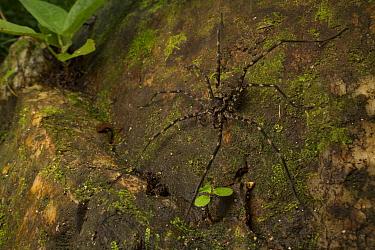 Fishing spider (Trechalea sp.) waits above a stream in the Sierra Nevada de Santa Marta, Colombia.