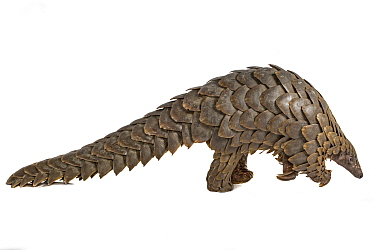 Cape pangolin / Temminck's ground pangolin (Smutsia temminckii), from Gorongosa National Park, Mozambique. This is an individual that was rescued from poachers, photographed on a white sheet before be...