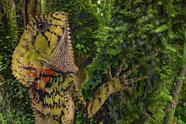 Helmeted iguana (Corytophanes cristatus) at La Selva Biological Station, Costa Rica.